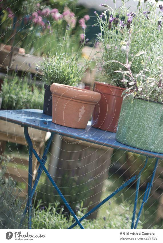 rutsch................ Natur Pflanze Frühling Garten elegant Wachstum Fröhlichkeit Tisch authentisch Schönes Wetter Kräuter & Gewürze Blühend Duft Präsentation Lavendel Nutzpflanze
