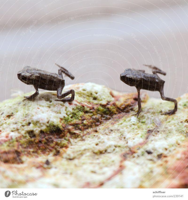 Synchronturnen Tier klein springen lustig Tierjunges Zusammensein Tierpaar niedlich Zusammenhalt Frosch Aquarium Turnen Makroaufnahme richtungweisend synchron