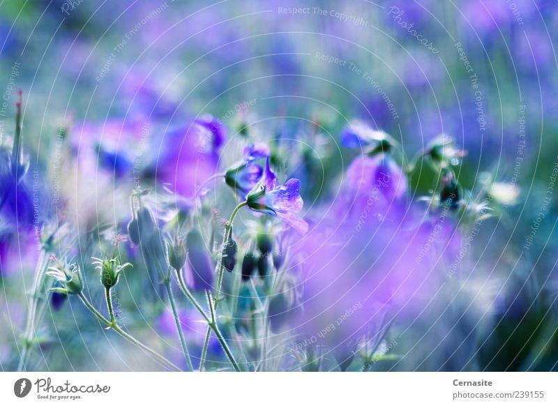 Geranium Sylvaticum Umwelt Natur Pflanze Wassertropfen Sonnenlicht Sommer schlechtes Wetter Regen Blume Blatt Wiese ästhetisch authentisch Duft einfach frisch