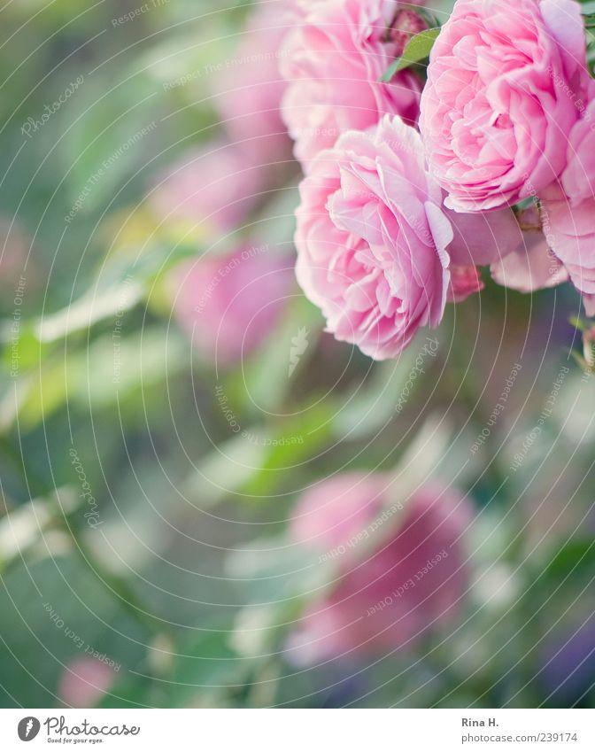 Rosenzeit Pflanze Sommer Blüte Garten authentisch Duft schön rosa Lebensfreude Kletterrose Farbfoto Menschenleer Schwache Tiefenschärfe Textfreiraum unten