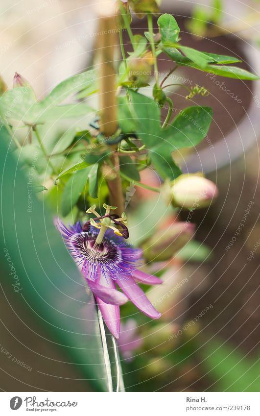Passion grün schön Pflanze Sommer Blüte Wachstum violett Blühend exotisch Kletterpflanzen festbinden Passionsblume