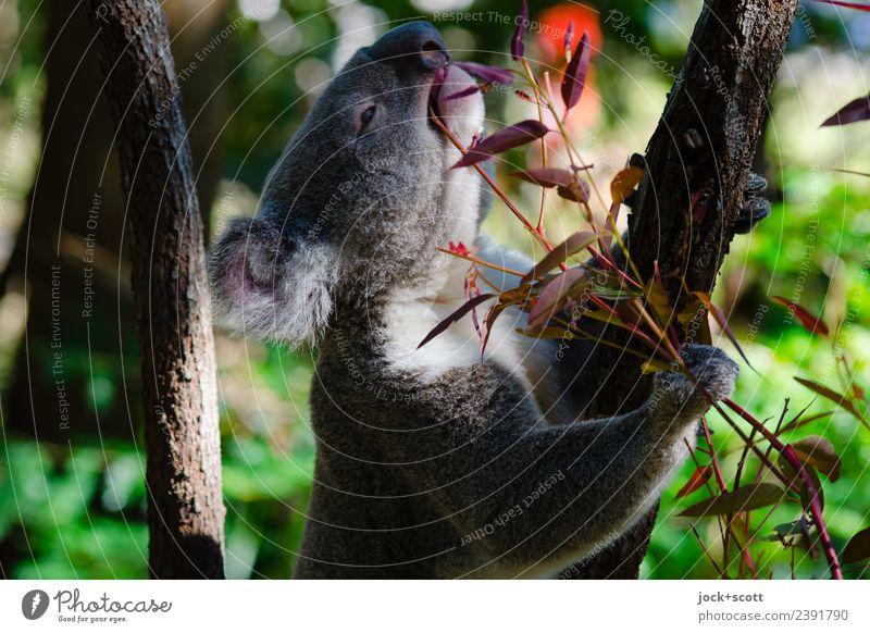 Mmmm Eucalyptus meint der Koala Tier exotisch Eukalyptusbaum Urwald Queensland Wildtier 1 festhalten Fressen genießen authentisch Wärme Gefühle achtsam
