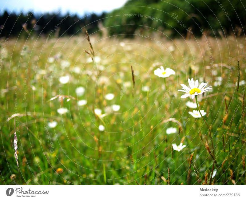 *hatschi* Natur Landschaft Pflanze Sommer Baum Blume Gras Blatt Blüte Grünpflanze Wiese Wald natürlich blau braun mehrfarbig gelb grün schwarz weiß Blumenwiese
