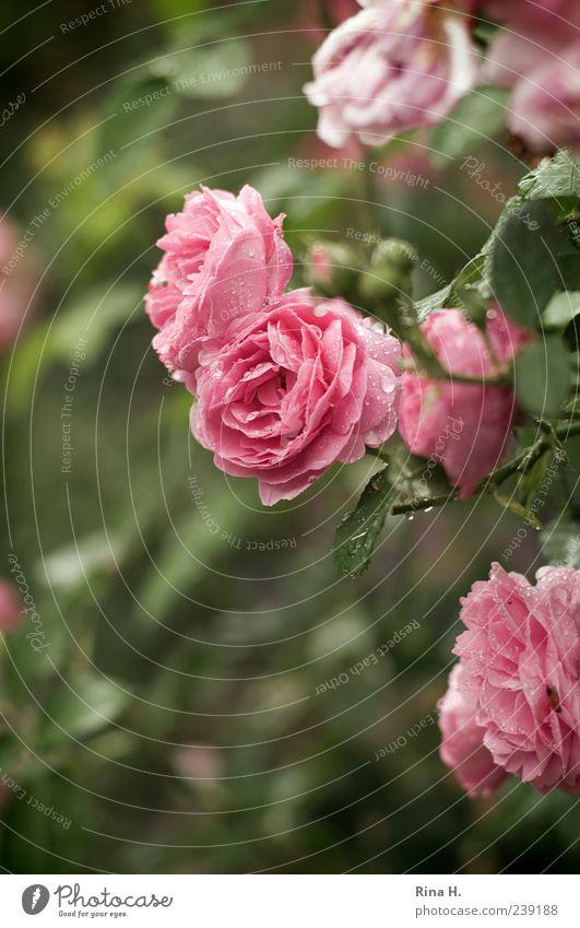 RosenMontag Wassertropfen Sommer Klima Wetter Pflanze Blatt Blüte Blühend nass grün rosa Kletterrose Farbfoto Außenaufnahme Menschenleer Schwache Tiefenschärfe