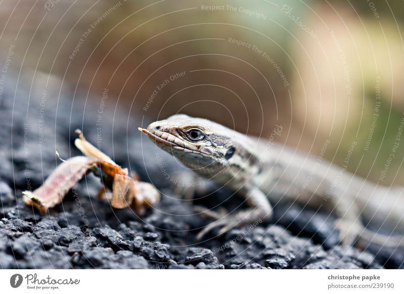 Mini-Drachen Tier Wildtier Echte Eidechsen 1 Fressen Fleischfresser Amphibie Farbfoto Textfreiraum oben Tag Schwache Tiefenschärfe Tierporträt Vorderansicht