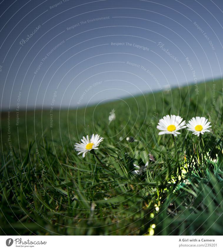 Spiekeroog l der Sonne entgegen Natur Pflanze Himmel Wolkenloser Himmel Frühling Schönes Wetter Blume Gras Gänseblümchen Wiese Hügel Blühend leuchten Wachstum