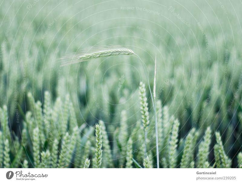 Aufstehen Umwelt Natur Sommer Pflanze Nutzpflanze Feld grün Getreide Getreidefeld Ähren Kornfeld hellgrün Menschenleer Zentralperspektive Weizen Weizenfeld