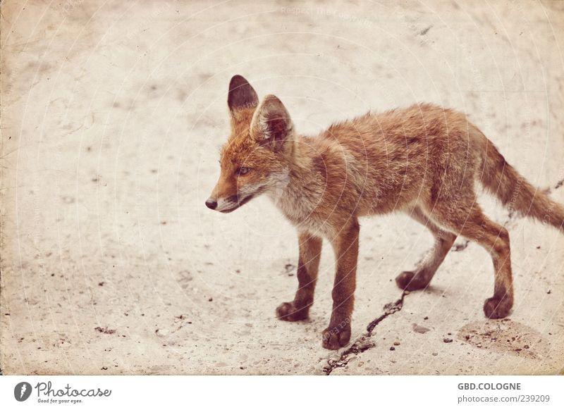 gespaltener Auftritt Tier Auge Tierjunges braun Wildtier stehen bedrohlich retro beobachten Ohr Fell nah dünn Riss frech Pfote