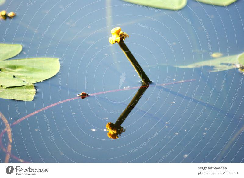 Teichrose Duft Umwelt Natur Landschaft Pflanze Wasser Sommer Blatt Blüte Wildpflanze Seerosen Seerosenblatt Mummel Blühend nass schön blau gelb Stimmung ruhig