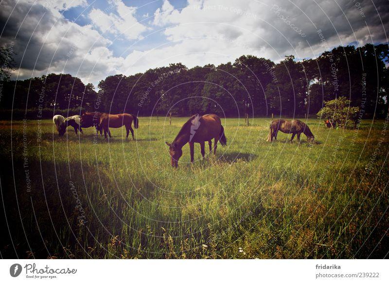 Warmblüter Himmel Baum Tier ruhig Wald Landschaft Wiese Gras Feld Sträucher Tiergruppe Pferd Idylle Fell Weide Haustier