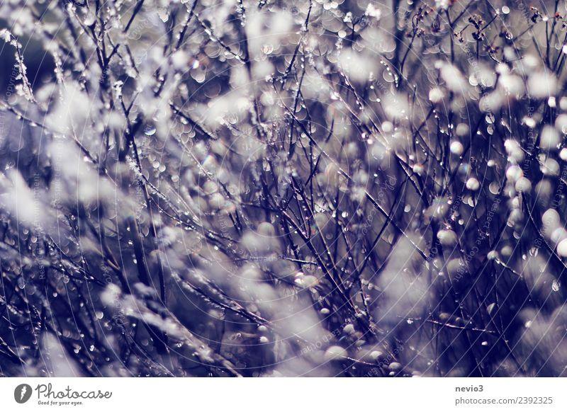 Wassertropfen an einem Strauch hängend Umwelt Natur Sommer Pflanze Sträucher Grünpflanze Wildpflanze Garten Park blau violett Regen schlechtes Wetter