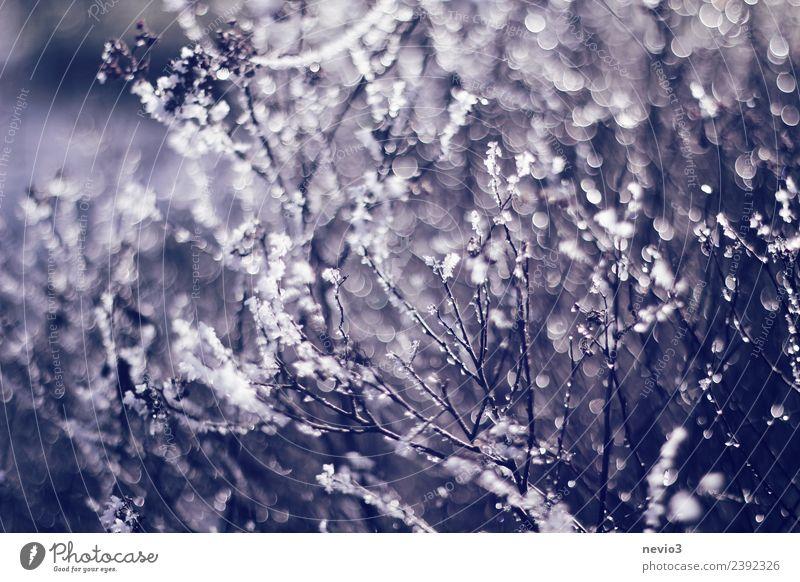 Wassertropfen an einem Strauch hängend Umwelt Natur Frühling Pflanze Sträucher Nutzpflanze Wildpflanze Garten Park Wald glänzend schön nah retro rund blau