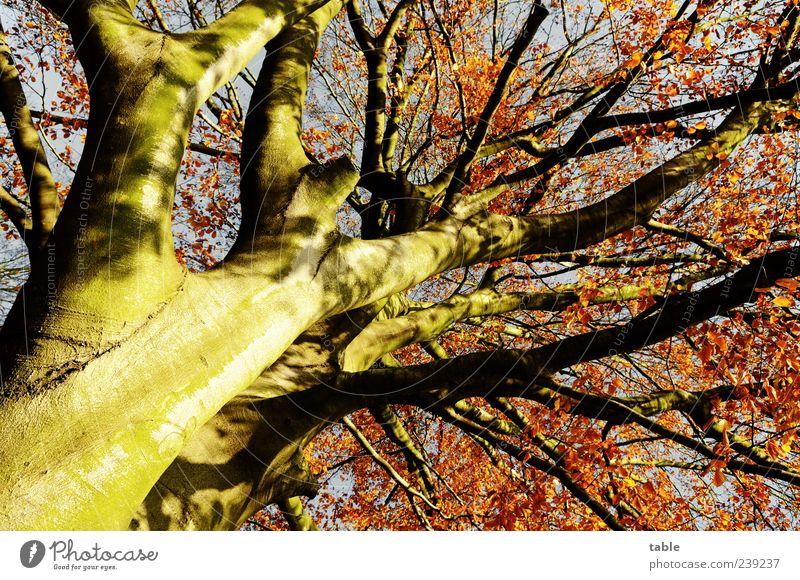 Herbst Natur blau alt Baum rot Pflanze Blatt Holz grau braun gold natürlich groß hoch ästhetisch