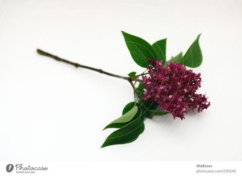 Flieder Pflanze Frühling Blume Fliederbusch Stimmung Frühlingsgefühle Vertrauen Freundschaft Treue Romantik schön Gelassenheit Ehrlichkeit Reinlichkeit