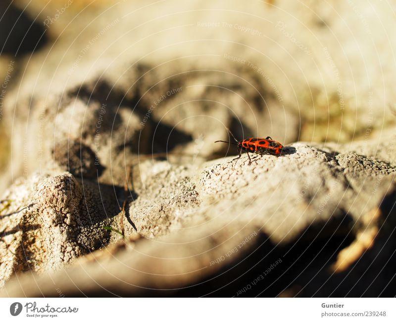 scouting expedition,... Natur Felsen Wildtier Insekt Feuerwanze 1 Tier braun gelb rot schwarz Stein Fühler Außenaufnahme Makroaufnahme Menschenleer