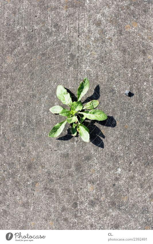 unkraut und steinchen Natur Sommer Pflanze Unkraut Unkrautbekämpfung Boden Stein trist trocken Stadt grau grün Kraft Umwelt Wachstum Wärme Farbfoto