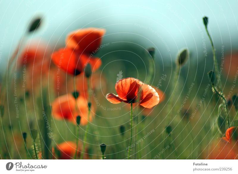 Im Mohnfeld Himmel Natur blau grün rot Pflanze Blume Umwelt Blüte hell natürlich Blühend Mohn Wolkenloser Himmel Mohnfeld Wildpflanze