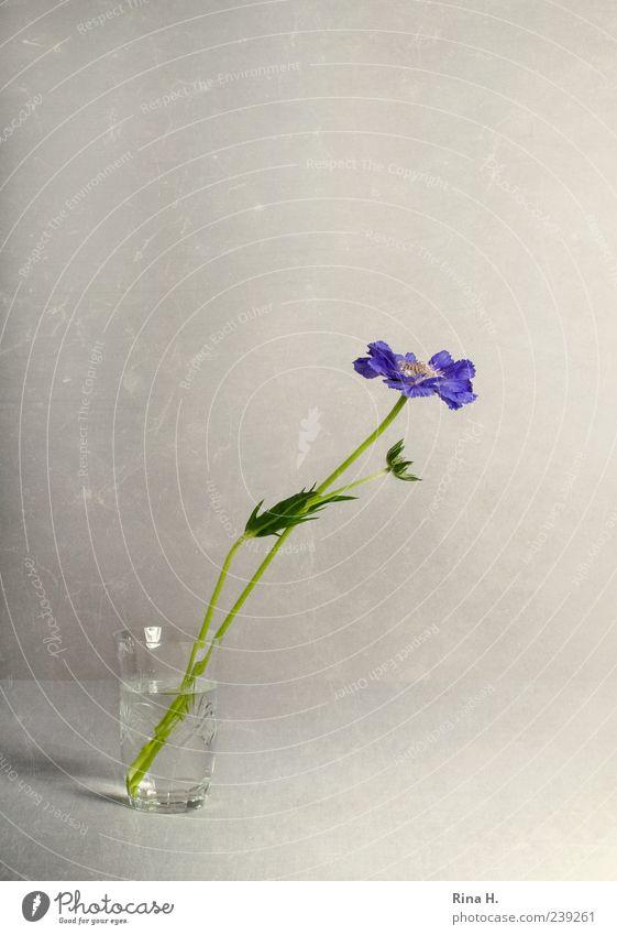 Scabiose im Glas Blume Blüte Stil hell elegant ästhetisch violett Blühend Stillleben Vase