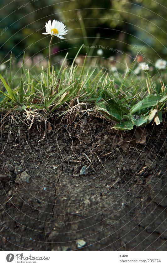 Durchschnitt Natur grün schön Blume Umwelt Wiese Gras Garten braun Erde außergewöhnlich Wachstum Urelemente Blühend Gänseblümchen nachhaltig