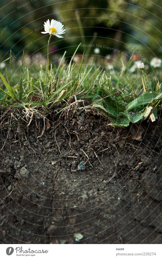 Durchschnitt Umwelt Natur Urelemente Erde Blume Gras Garten Wiese Blühend außergewöhnlich schön braun grün Wachstum Querschnitt Gänseblümchen geteilt Biologie