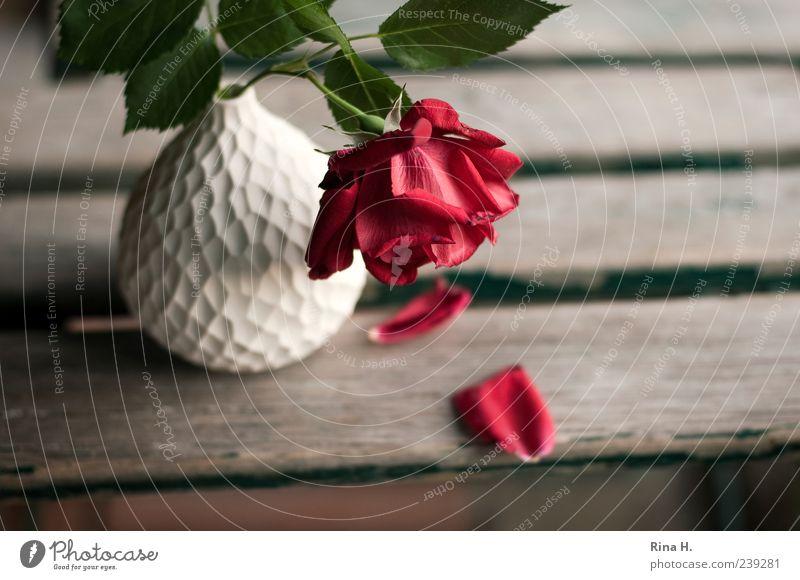 Abschied weiß rot Pflanze Sommer Blume Blatt Blüte Traurigkeit Rose Vergänglichkeit Schmerz Stillleben Vase verblüht Gartenstuhl