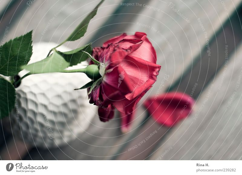 Abschied II Sommer Rose Blatt Blüte alt verblüht authentisch rot weiß Traurigkeit Trauer Vergänglichkeit Vase Stillleben Farbfoto Außenaufnahme Menschenleer