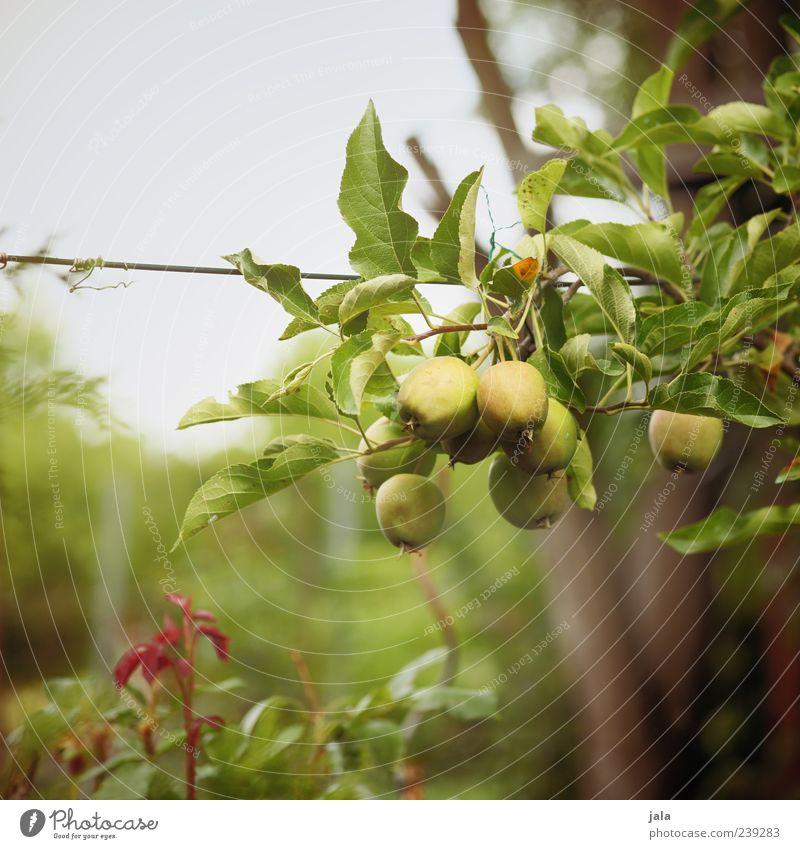 heranreifen Lebensmittel Apfel Bioprodukte Vegetarische Ernährung Natur Pflanze Baum Gras Sträucher Grünpflanze Nutzpflanze Garten lecker Farbfoto Außenaufnahme