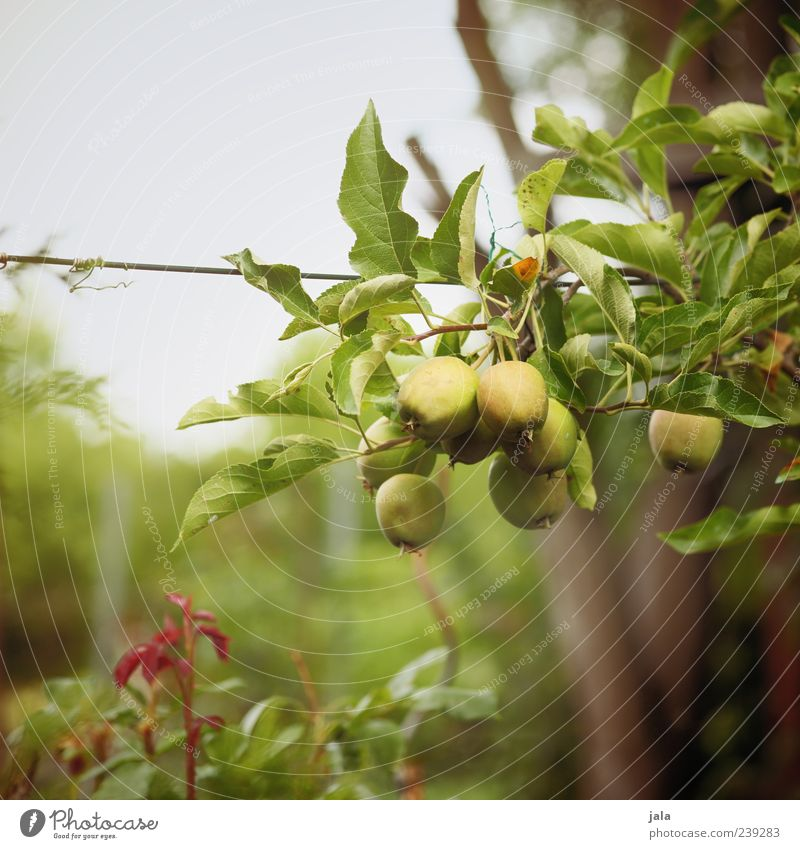 heranreifen Natur Baum Pflanze Lebensmittel Gras Garten Sträucher Apfel lecker Bioprodukte Grünpflanze Vegetarische Ernährung Apfelbaum Zweige u. Äste Nutzpflanze Frucht