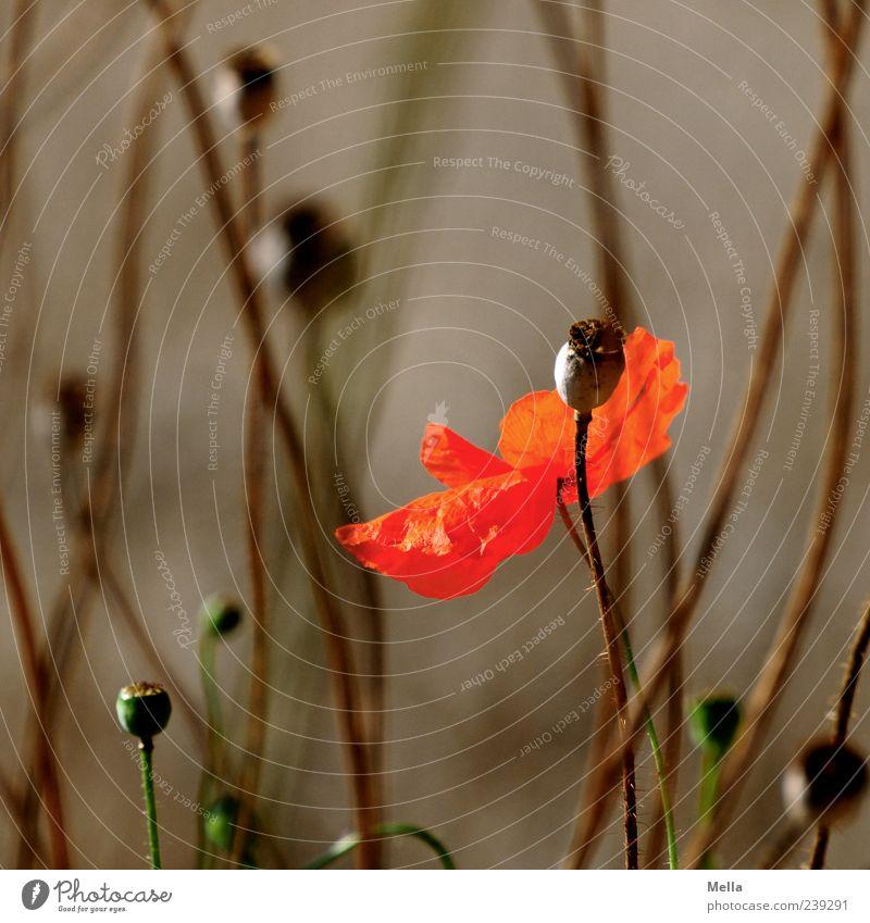 Leben Umwelt Natur Pflanze Sommer Blume Blüte Wildpflanze Wiese Feld Blühend verblüht dehydrieren Wachstum schön natürlich braun rot Stimmung Vergänglichkeit