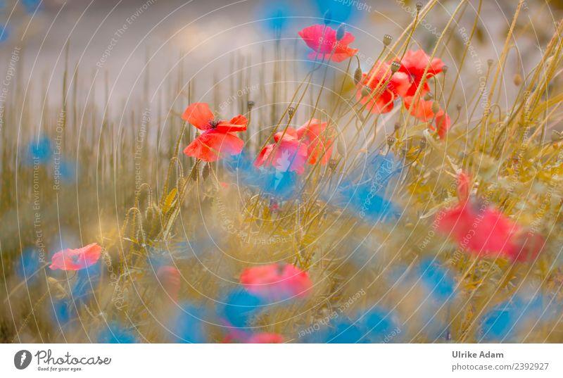 Mohn Impressionen Natur Sommer blau Pflanze Blume rot Erholung ruhig Leben Blüte Wiese Garten Zufriedenheit wild Park frisch