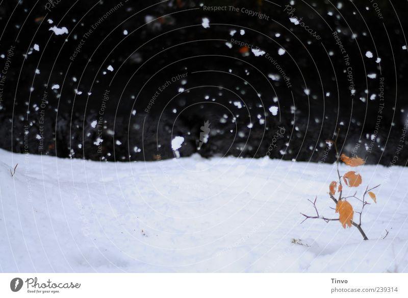 Schnee rieselt auf Zweig mit Herbstblättern auf Schneedecke Winter Schneefall Blatt kalt Buche Jahreszeiten rieseln Schneeflocke Zweige u. Äste Farbfoto
