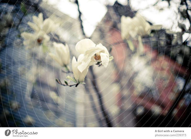 Brooklyn Beauties weiß Blume Haus Frühling Gebäude Wachstum Bauwerk Blühend Magnoliengewächse Magnolienblüte