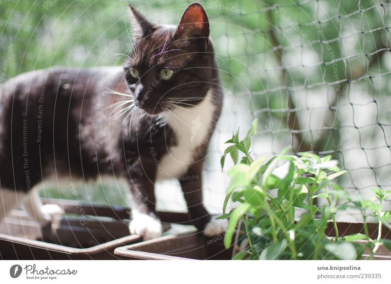 katzen.minze Pflanze Kräuter & Gewürze Minze Tier Haustier Katze 1 beobachten Blick grün Blumenkasten Netz schwarz Katzenkopf Balkonpflanze Blick nach vorn