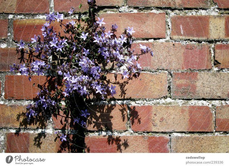 wall bloomchen Pflanze Blume Blüte Wildpflanze exotisch Mauer Wand Natur Farbfoto Muster Textfreiraum rechts Schatten Sonnenlicht Menschenleer violett Blühend