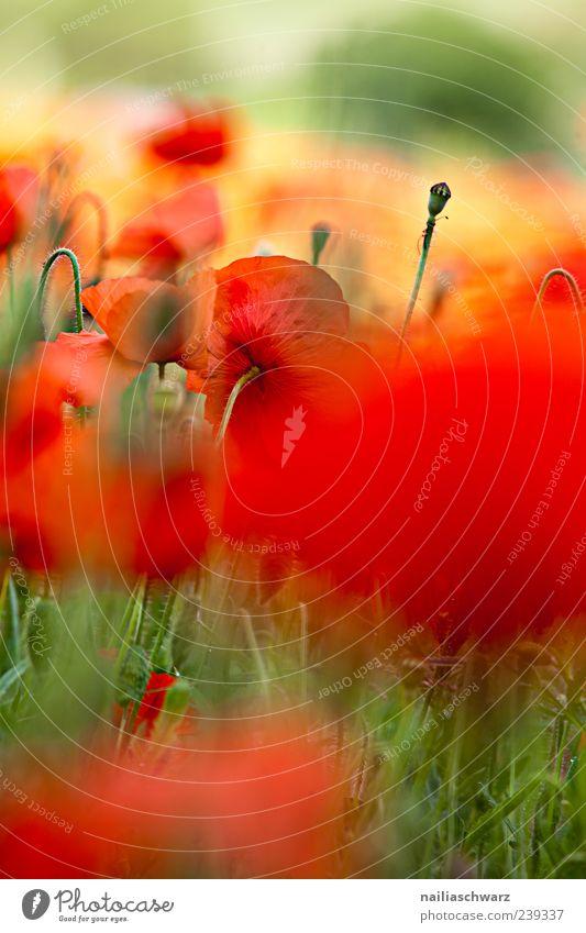 Mohntraum Natur grün schön rot Pflanze Sommer Blume Erholung Umwelt gelb Blüte Schönes Wetter Blühend Duft Mohnfeld