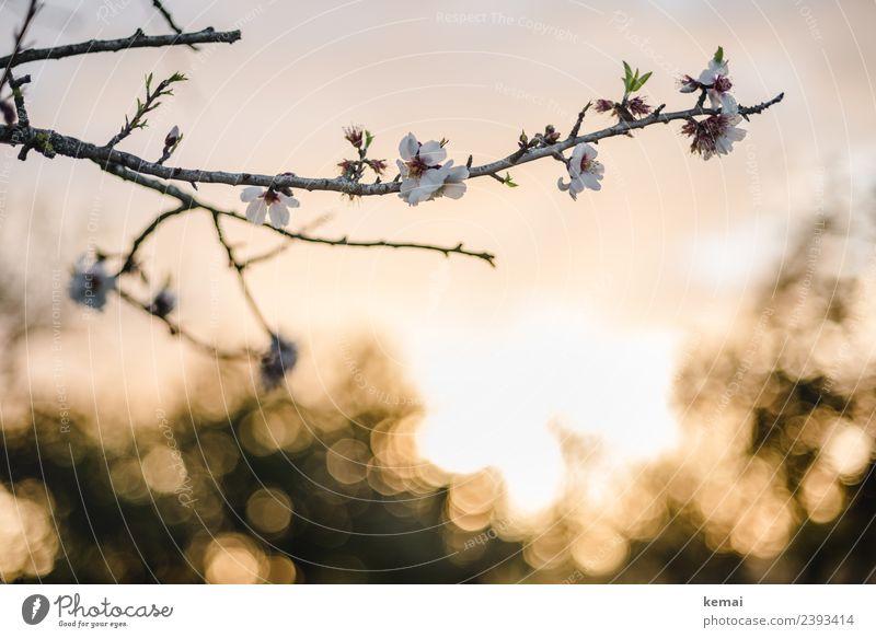 Mandelblüte harmonisch Wohlgefühl Sinnesorgane Erholung ruhig Natur Pflanze Himmel Sonne Frühling Schönes Wetter Blume Blüte Nutzpflanze Zweig Mandelbaum Feld