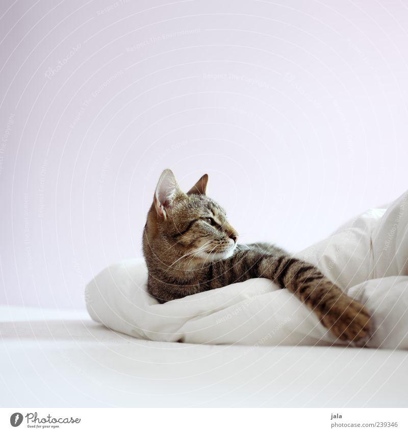 haustiger Katze weiß Tier schwarz grau braun Zufriedenheit liegen elegant ästhetisch Bett Tiergesicht genießen Haustier gemütlich Pfote