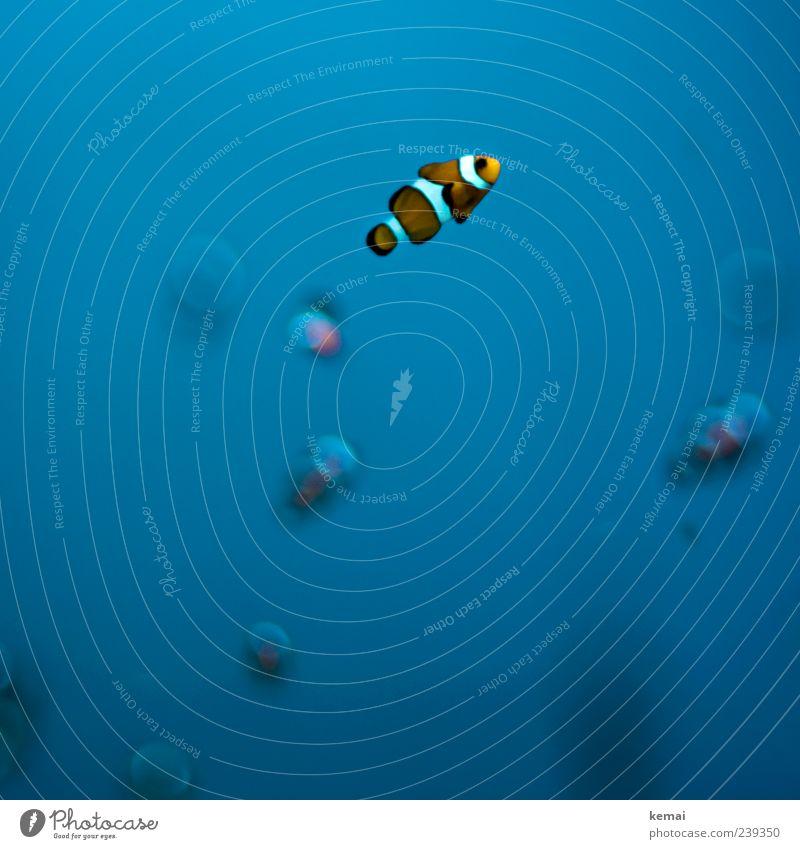 Fischle Natur blau Wasser Tier Umwelt kalt klein orange Wildtier niedlich einzeln Tiergesicht gestreift Aquarium Unterwasseraufnahme