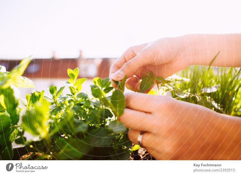 Junge Frau pflückt Blatt von frischer Pfefferminze Kräuter & Gewürze Ernährung Bioprodukte Vegetarische Ernährung Slowfood Gärtnerei Gartenarbeit