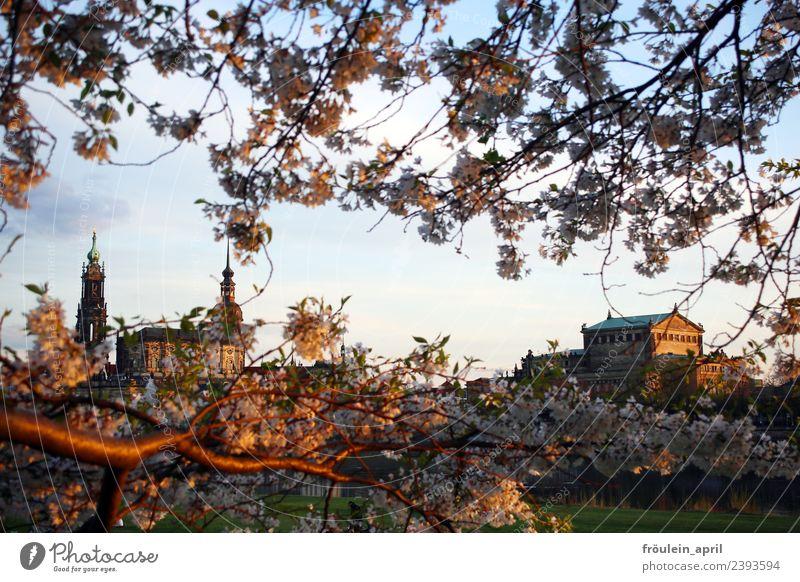 Durch die Zweige gesagt Kultur Opernhaus Natur Landschaft Frühling Schönes Wetter Blüte Apfelbaum Obstbaum Park Flussufer Dresden Deutschland Sachsen Europa
