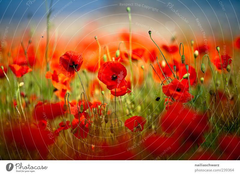 Mohntraum Gemälde Umwelt Natur Landschaft Pflanze Erde Sonnenlicht Sommer Schönes Wetter Blume Wildpflanze Mohnblüte Garten Wiese Feld Menschenleer Duft
