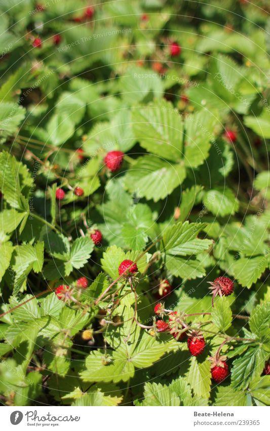 süße Versuchung Natur grün rot Garten Frucht Lebensmittel Wachstum frisch genießen reif Duft Erdbeeren verführerisch geschmackvoll Wildpflanze