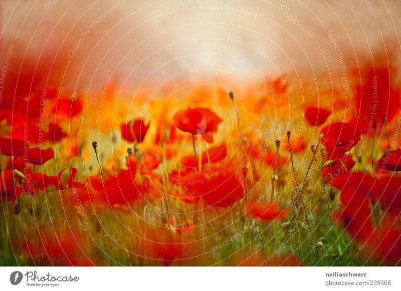Mohnrausch Duft Sommer Kunst Umwelt Natur Landschaft Pflanze Blume Wiese Feld Blühend träumen außergewöhnlich schön gelb grün rot Stimmung Frühlingsgefühle