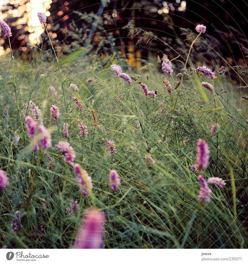 Summ-summ Natur Landschaft Pflanze Sonnenlicht Frühling Sommer Blume Garten Wiese schön grün violett Idylle Farbfoto Außenaufnahme Nahaufnahme Menschenleer Tag