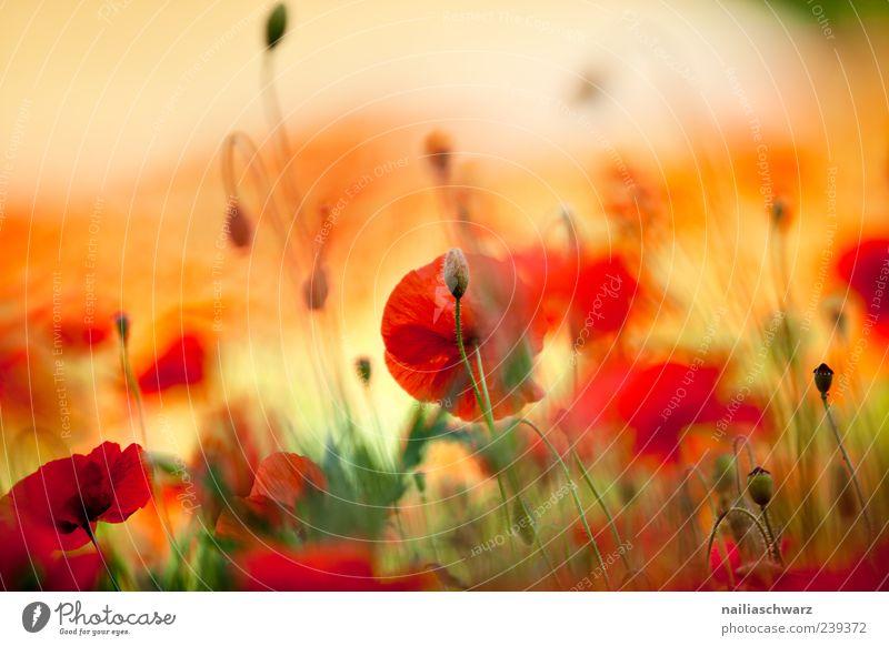 Mohnrausch Kunst Gemälde Natur Pflanze Sonnenlicht Sommer Blume Blüte Wildpflanze Wiese Feld Menschenleer Blühend Duft leuchten außergewöhnlich schön gelb grün
