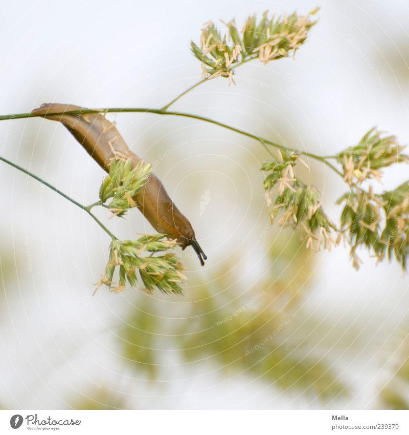 Wenn ich mich ganz laaaaang mache .... Natur Pflanze Tier Umwelt Gras klein lustig Wildtier natürlich niedlich hängen Fressen Schnecke Ekel schleimig