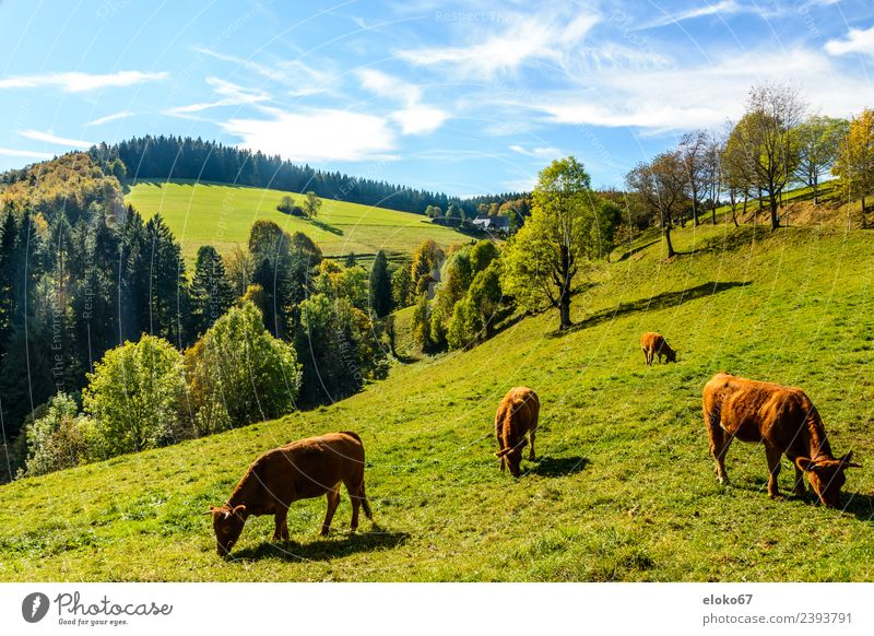 Schwarzwald Sommer Natur Lebensfreude Frühlingsgefühle grass eating Hintergrundbild sky cow mammal forest landscape animal field meadow farm green grazing