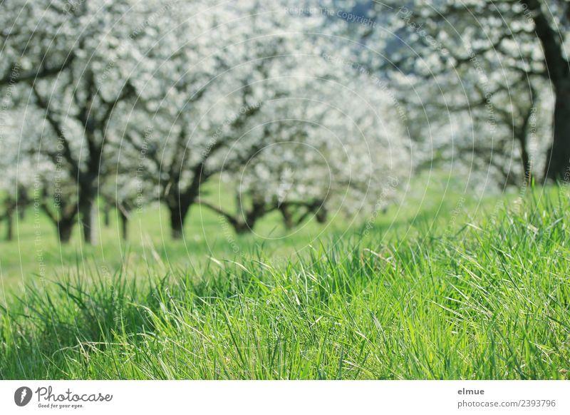Kirschbaumwiese Umwelt Natur Pflanze Frühling Schönes Wetter Baum Gras Blüte Kirschblüten Obsthain Wiese Blütentraum Blühend Wachstum Freundlichkeit Glück hell