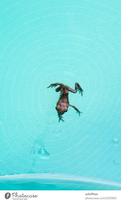 Turnpause beendet: Handstand Tier klein springen lustig Tierjunges Beine außergewöhnlich türkis Frosch winzig Lurch kopfvoran sprunghaft