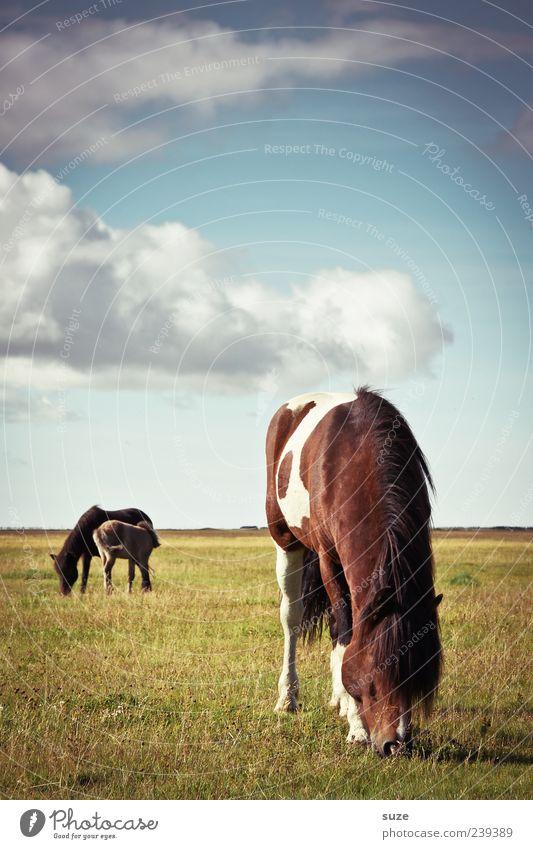 100% Vegetarisch Sommer Umwelt Natur Landschaft Himmel Klima Schönes Wetter Weide Wiese Tier Nutztier Wildtier Pferd 3 Tiergruppe Fressen stehen Island